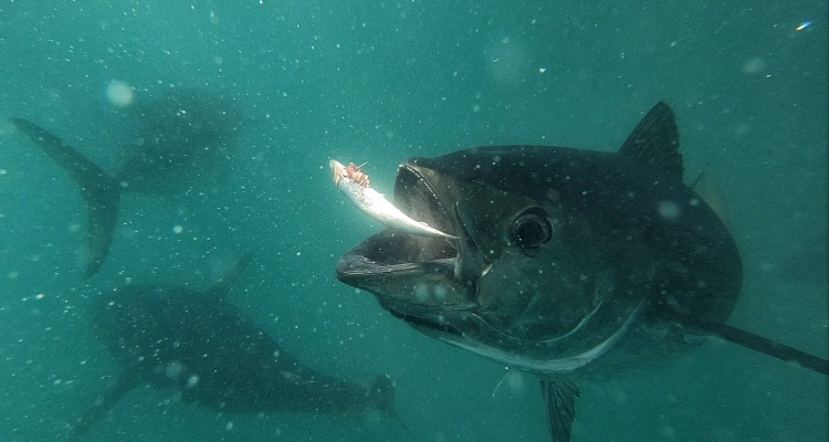 Swim Tuna Victor Harbour, South Australia Jensen Chua Jetblogger